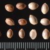 麻の実:「七味唐辛子の成分でもあり、鳥のえさとしても販売されていますが、これらのものは、発芽しないよう処理されています:生のものを持っていると---  大麻取締法違反容疑での現行犯逮捕?」 植物としての「アサ(大麻)」は,中国から渡来した最も古い帰化植物といわれ,16世紀の綿の普及をみるまで 苧麻チョマに次ぐ重要織物原料とされていましたが,大麻取締法の影響もあって現在はわずかな生産が見られるのみ.