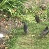 イギリスの野鳥たち③ 我が子のためなら 超過保護?のスターリング親子