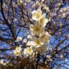 梅が咲きました(2)~地域振興のためのスマホ写真活用(11)
