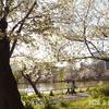 2020.3.25 大島桜