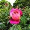 リージェンツ・パークで薔薇をみながらカフェでお茶【一年前のひと月のイギリス旅・32】