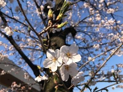 ポカポカ陽気、自転車で出かけました〜都内では桜が満開〜