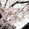 桜で思い出すこと、思い出せないこと 〜新元号と桜〜