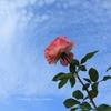 秋薔薇の魅惑