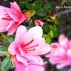 【ミツバツツジ】が咲いて来ました...写真映りが良い『べっぴんさんです』