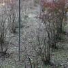 東広島市豊栄町のブルーベリー園 利用者の絵「柿」その5