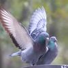 バイブル・エッセイ(380)『鳩のように聖霊が降る』