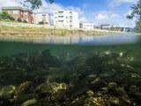 防水デジカメTG-5で水中撮影。琴似発寒川に遡上中のサケを撮影