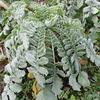 大根と霜対策