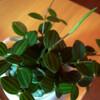 またまた観葉植物の話ですが…
