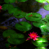 薄紅色の睡蓮の 花は水面に浮かび誘いて