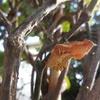 庭にジャコウアゲハの蛹が・・・