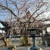 しだれ桜/利休梅/メデコブシ 鎌倉本覚寺のしだれ桜が満開.見事でした.今日の強風で,花びらも少し散り始めていましたが--.隣の大功寺に足をのばすと---出会うことを熱望していた利休梅.そして野生は準絶滅危惧種のメデコブシ(ヒメコブシ).どちらもステキな白い花をつけて出迎えてくれました.