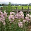 淡いピンク色の小さな花を搭状に咲かせるハナトラノオ