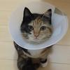 猫(ムシャぼう)が避妊手術の抜糸後に獣医の先生に言われたこと