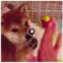 【癒し動画】ハイタッチ!柴犬こてつの成長記録