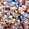 山桜🌸と鳥さん🐤