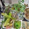 🌵多肉植物   秋の植え替え作業⑧🌵