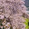桜咲くほのかな香り