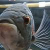 熱帯魚オスカー、混泳は難しいと思う。今朝やられました。