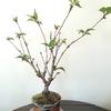 今日は    ~桜の盆栽の剪定
