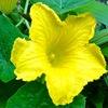 カボチャか冬瓜の花