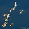 群れて通過する White Ibis (ホワイト イビス、日本名シロトキ)