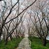 佐木島の桜の名所「塔の峰千本桜」とおすすめの桜スポット!三原&尾道から船で渡る離島でお花見