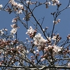 桜咲く  🌸  春到来✨わが町の桜も開花し始めました
