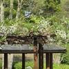 桜の次は石楠花、ツツジ、藤の花