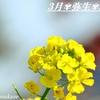 菜の花と早咲き桜✾癒しのひと時