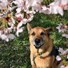 のんびり桜