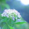 父の日と、雨と紫陽花とお散歩