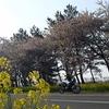 日本一の干拓地を走る♪【大潟村『桜並木と菜の花ロード』】
