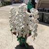 茨木市の花屋のおすすめ商品、お祝いの胡蝶蘭