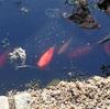 新入り金魚、池に馴染む