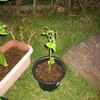 8/12 夏オクラ植えてみました。 2日目