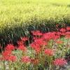 真っ赤な彼岸花(曼珠沙華)と黄色い稲穂に日本の秋を感じる ~山口県より~