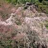 東北にも桜の季節