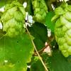 ビールの美味しい季節!ホップとは?