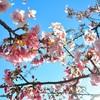 さくらといえば河津桜