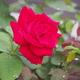 ベランダの薔薇が咲きました