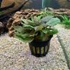 クリプトコリネを植栽
