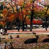 奈良公園の紅葉(11月上旬~12月上旬)