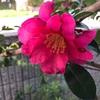 サザンカ咲いた。