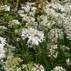 こぼれダネや地下茎で勝手に増えてくれるお気に入りの庭の花