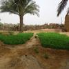 砂漠で野菜をどうやって作っているか?続き