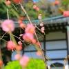 ゆるゆると梅の花と(東京国分寺界隈)