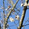 1月に咲く花~梅・ロウバイ~