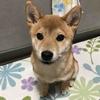 柴犬あきとの生活 104